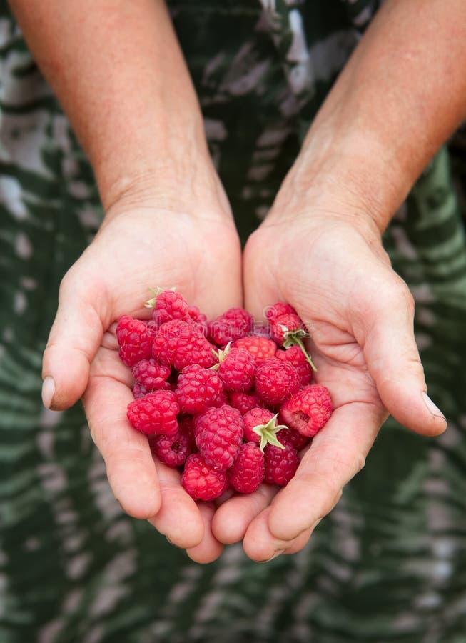 Ein erfahrener Gärtner, der ein Bündel raspberrys zeigt stockfotografie