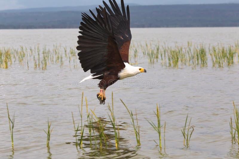 Ein erfolgreicher Angriff Eagle ergreift die Fische Baringo, Kenia lizenzfreies stockfoto