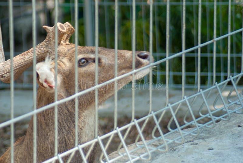 Ein erwachsener Mannesrotwild, das herauf das Bitten um die Fütterung vom Besucher im Zoo chinning ist lizenzfreie stockfotos