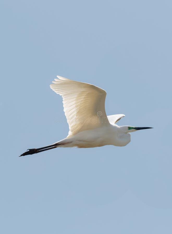 Ein erwachsener Silberreiher im Flug gegen klaren, blauen Himmel stockbild