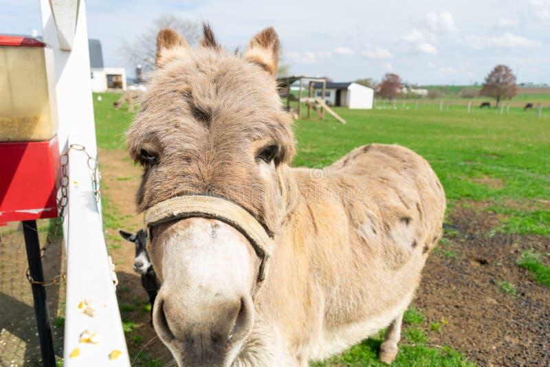 Ein Esel, der durch einen wei?en Zaun sp?ht stockfoto