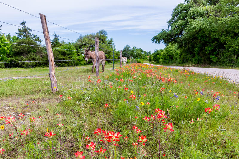 Ein Esel in Texas Field von Wildflowers lizenzfreie stockfotografie