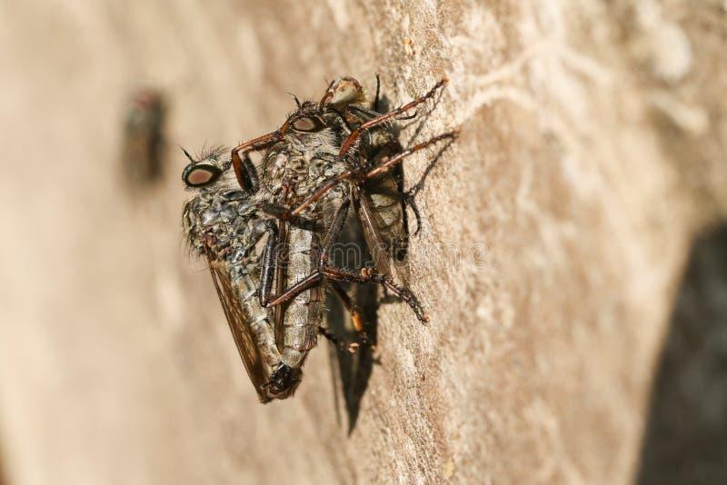 Ein fügendes Paar allgemeines cyanurus Ahle Robberfly Neoitamus, das auf einem Bretterzaun am Rand des Waldlandes hockt Ein des R stockfotografie
