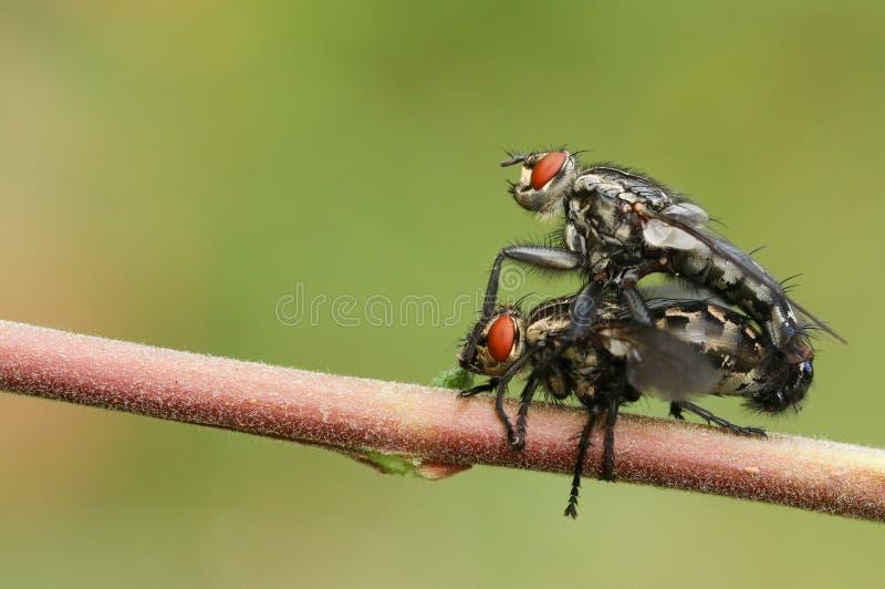 Ein fügendes Paar von Fleisch-Fliege Sarcophaga stockfotos