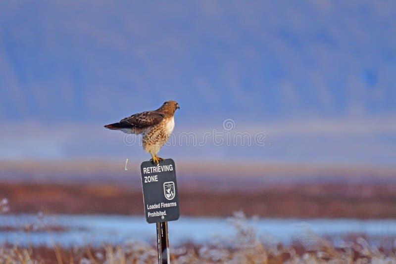 Ein Falke, der von einem Pfosten sitzt und sich absetzt stockbild