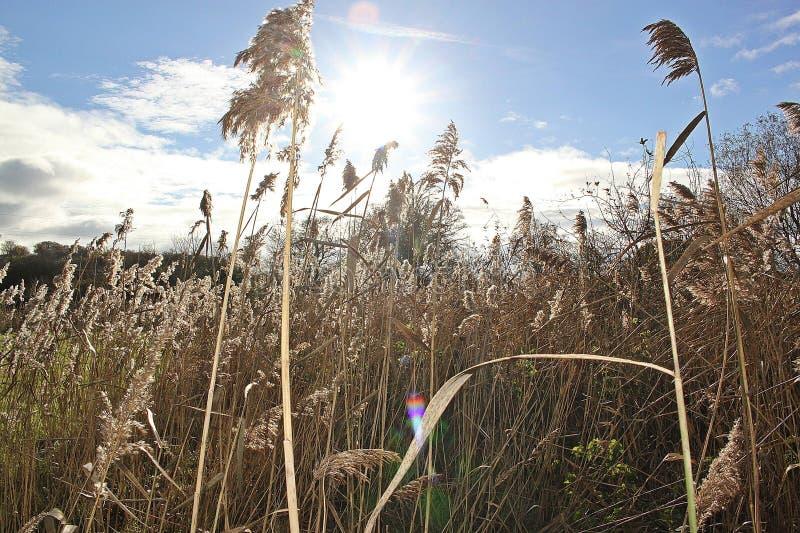 Ein Feld des Weizens stockbild