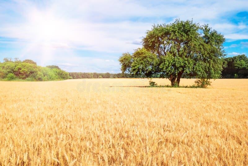 Ein Feld des Weizens und des großen grünen Baums lizenzfreie stockfotografie