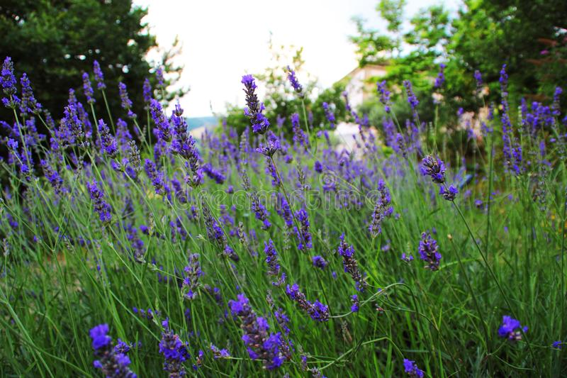 Ein Feld des wohlriechenden Lavendels stockbild