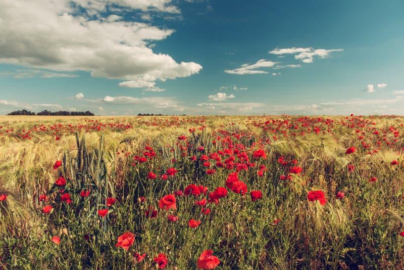 Ein Feld mit blühendem Scharlachrot Mohnblume lizenzfreie stockfotos
