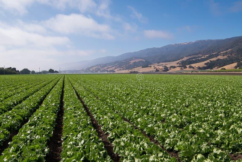 Ein Feld mit Reihen des Kopfsalates stockbild