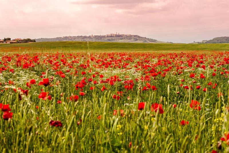 Ein Feld von blühenden Mohnblumen und von Pienza im Hintergrund stockbild