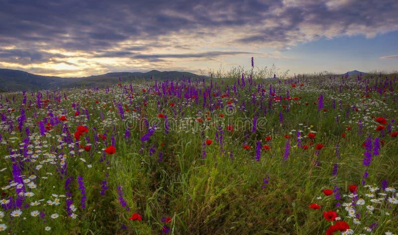 Ein Feld von Gänseblümchen, von Mohnblumen und von Gebirgslavendelhoch in den Bergen lizenzfreie stockfotografie