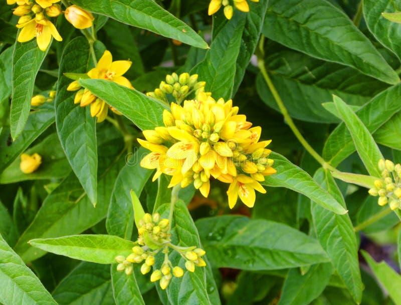 Ein Feld von Gelb rapaseed Blumen lizenzfreie stockfotografie