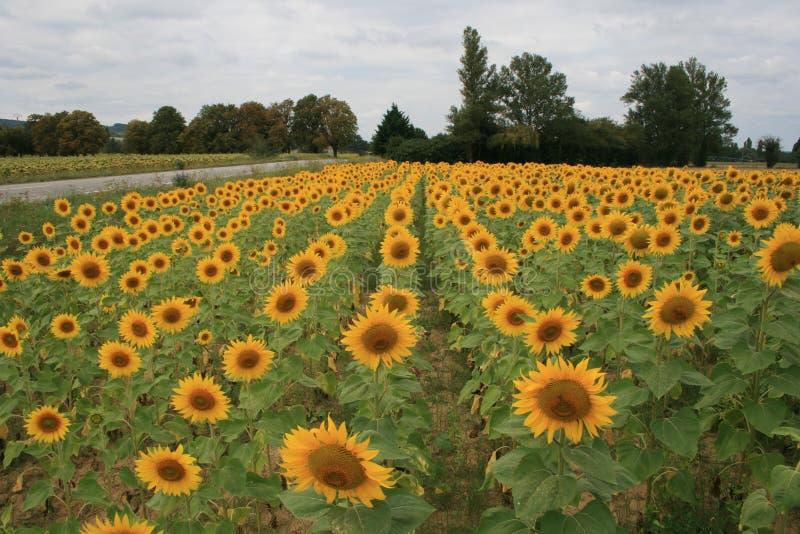 Ein Feld von gelben Sonnenblumen nahe einer Straße in einem ländlichen Ort von Frankreich lizenzfreie stockfotos