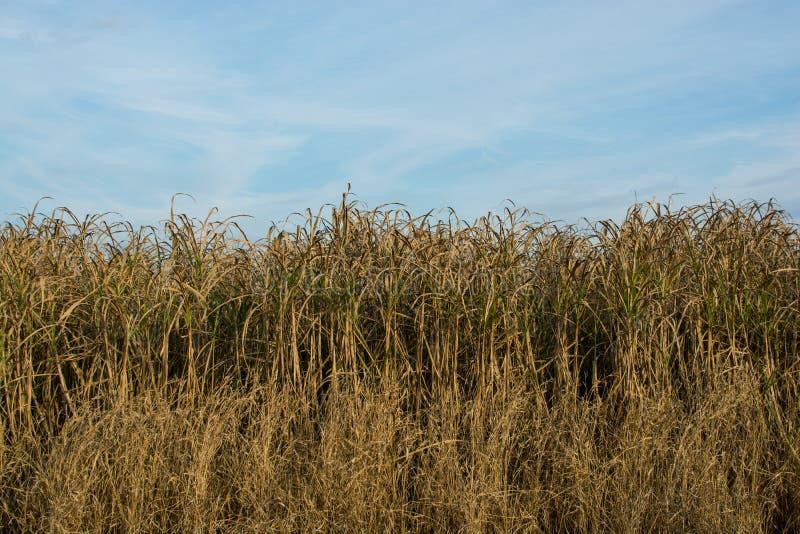 Ein Feld von Maisstielen stockbild