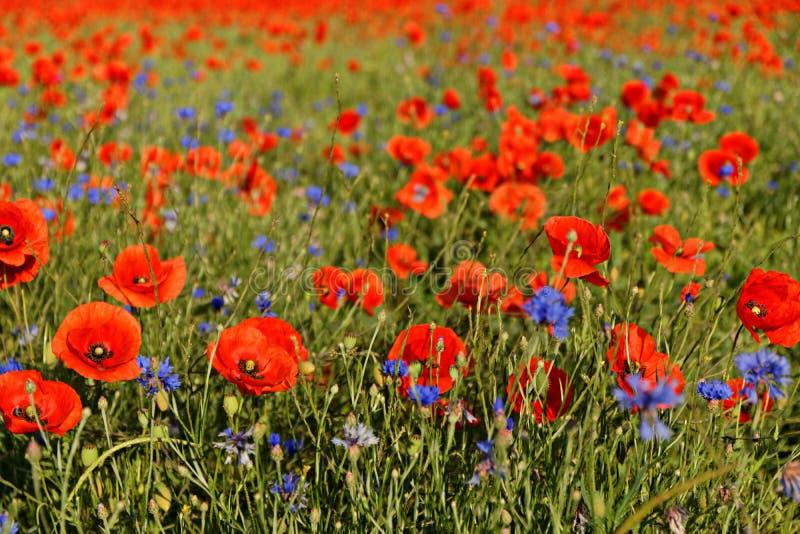 Ein Feld von Mohnblumenblumen und -Kornblumen nahe Erfurt stockfotos
