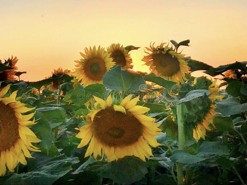 Ein Feld von Sonnenblumen bei Sonnenuntergang stockfotografie