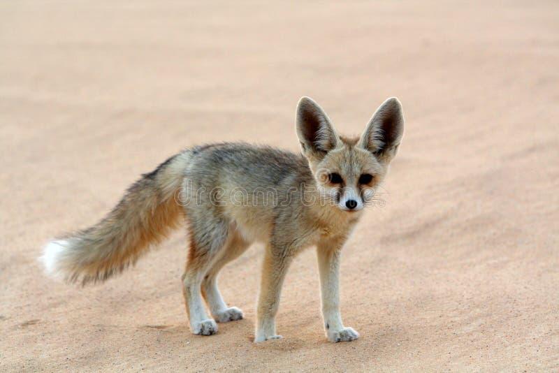 Ein Fennec Fox in der weißen Wüste lizenzfreie stockfotografie