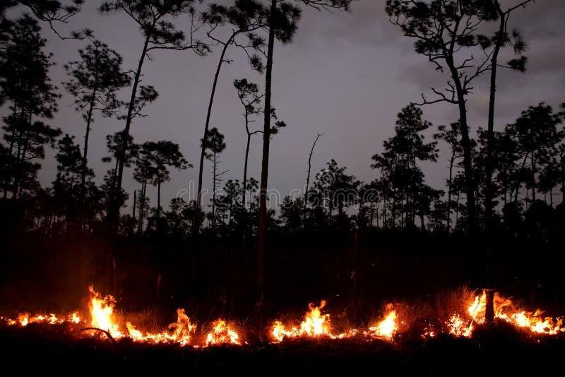Ein Feuer in einem Kiefern-Wald lizenzfreies stockfoto