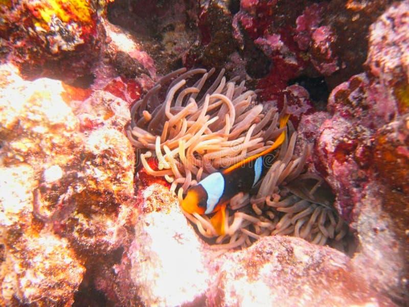 ein Fisch in den Anemonen lizenzfreie stockbilder