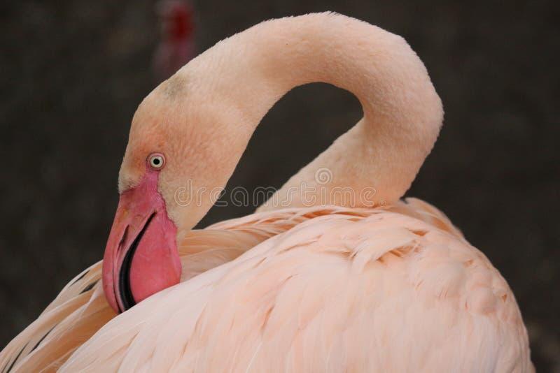 Ein Flamingo, der seine Federn putzt stockfotos