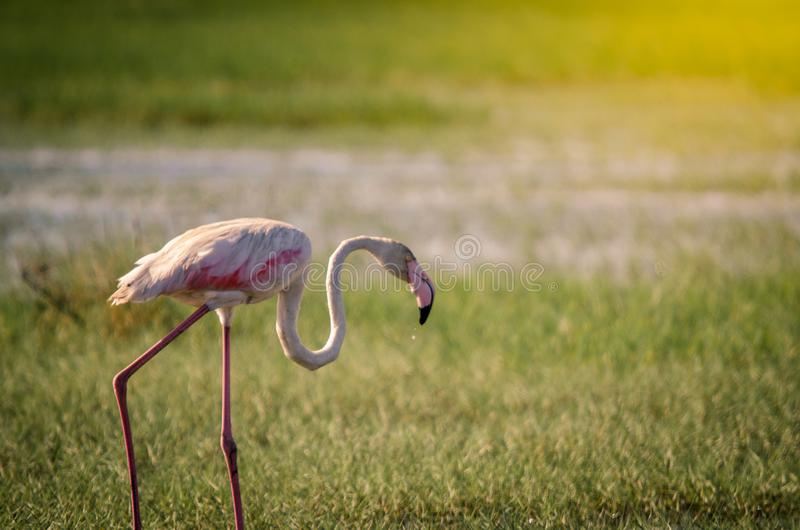 Ein Flamingo phoenicopterus roseus, das in Isimangaliso-Sumpfgebiete geht, parken, St Lucia, Südafrika stockbilder