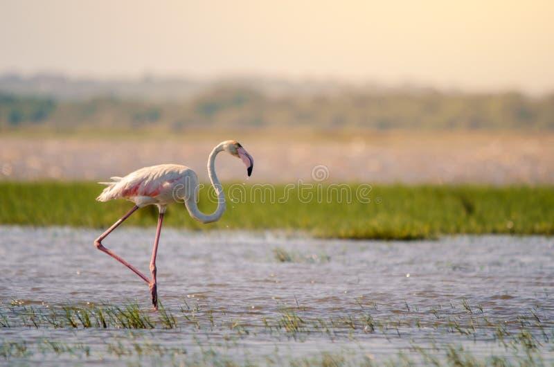 Ein Flamingo phoenicopterus roseus im seichten Wasser in Isimangaliso-Sumpfgebieten parken, St. lizenzfreies stockbild