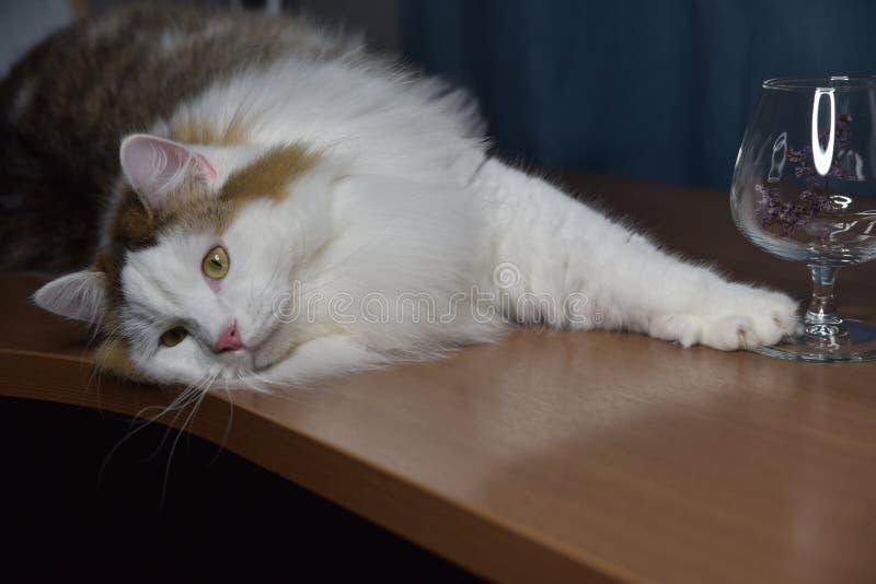 Ein flauschiges Kätzchen sitzt auf dem Tisch und schaut in ein Glas, berührt es mit seiner Pfote, ist er interessiert lizenzfreies stockbild