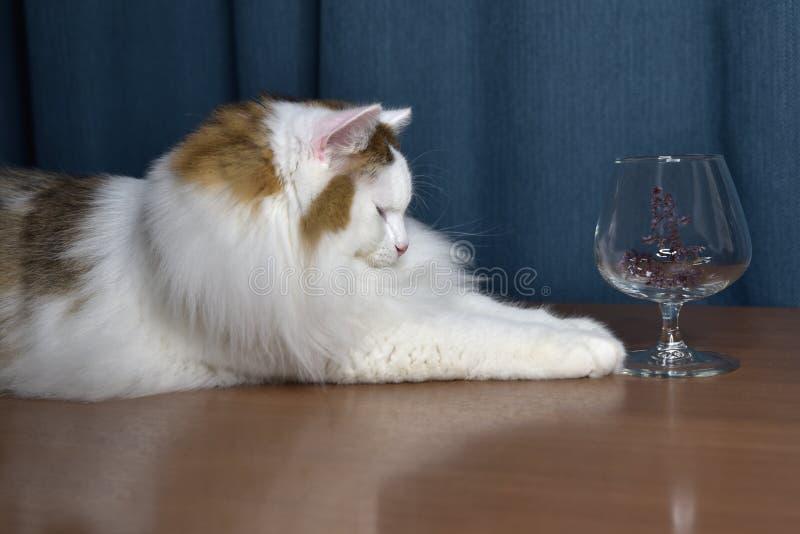 Ein flauschiges Kätzchen sitzt auf dem Tisch und schaut in ein Glas, berührt es mit seiner Pfote, ist er interessiert lizenzfreies stockfoto