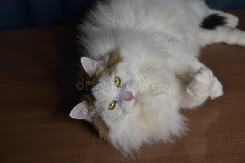 Ein flauschiges Kätzchen sitzt auf dem Tisch und schaut in ein Glas, berührt es mit seiner Pfote, ist er interessiert lizenzfreie stockbilder