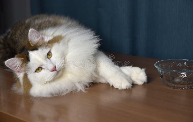 Ein flauschiges Kätzchen sitzt auf dem Tisch und schaut in ein Glas, berührt es mit seiner Pfote, ist er interessiert stockfotografie