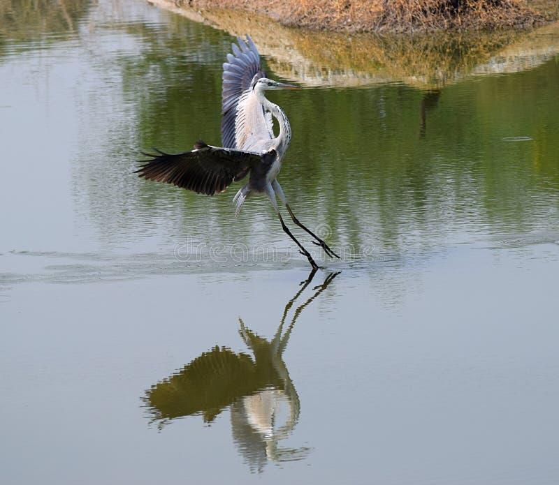 Ein Fliegen gemeiner Crane Bird - eurasischer Kran - Landung auf Wasser mit Reflexion - kleines Rann von Kutch, Gujarat, Indien lizenzfreie stockfotos