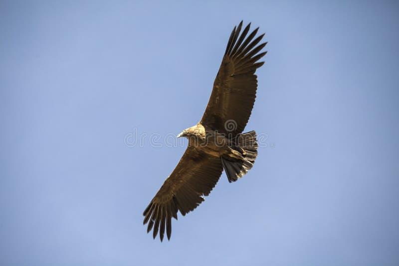 Ein Fliegenkondor in Peru lizenzfreie stockfotos