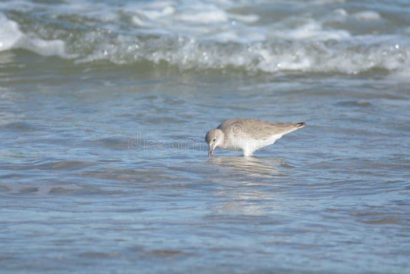 Ein Flussuferläufer findet eine Mahlzeit gerade unter der Oberfläche einer Welle lizenzfreies stockbild