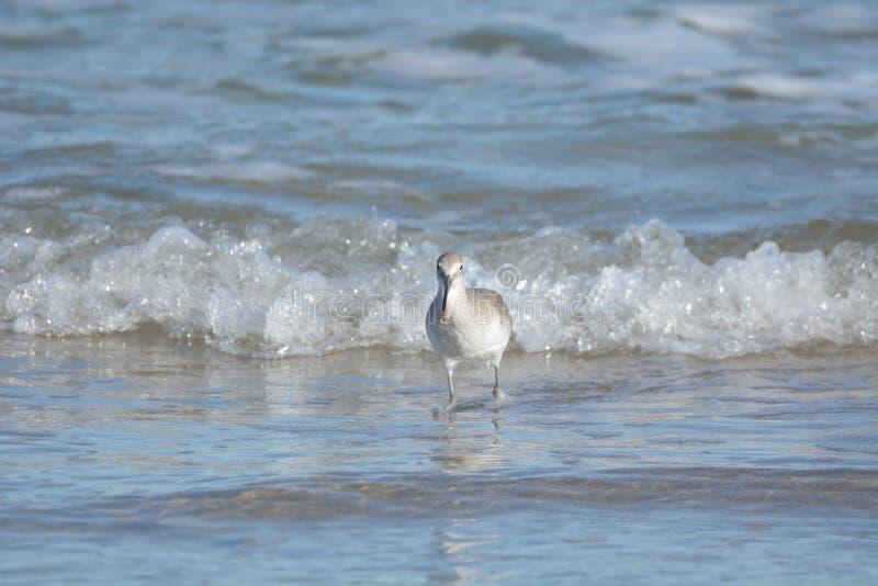 Ein Flussuferläufer muss bewusst halten, wo die Wellen beim Suchen nach Nahrung sind lizenzfreies stockfoto