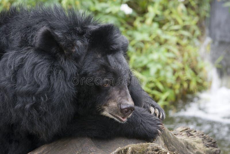 Ein formosischer Bär stockbild