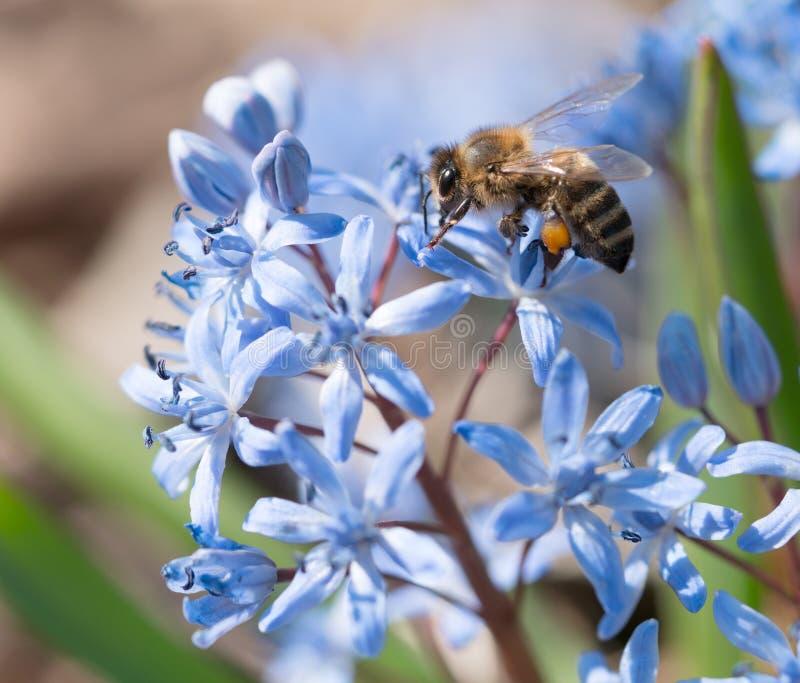 Ein Foto einer Honigbiene die, die im Frühjahr Blütenstaub von einer schönen blauen Blume sammelt stockbild