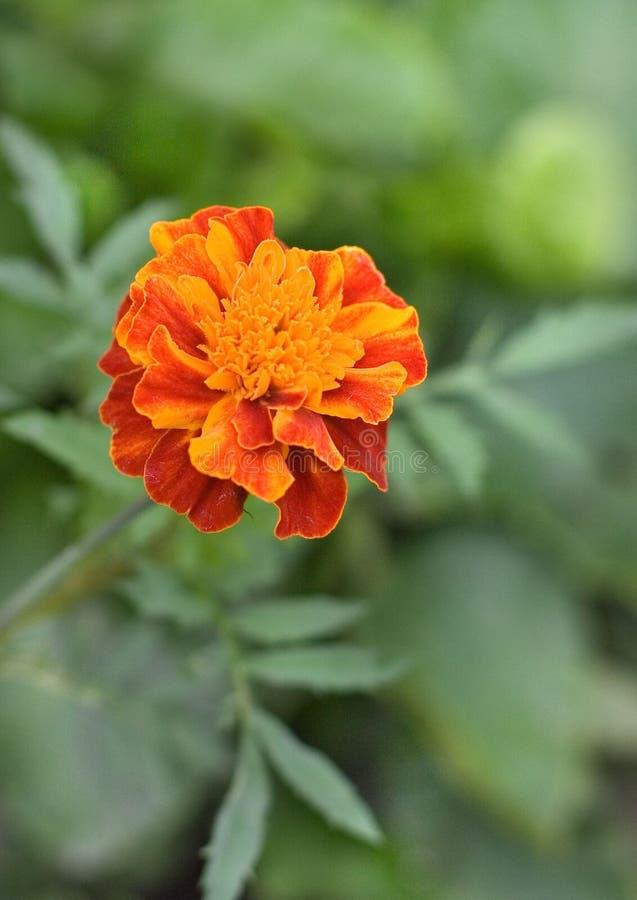Ein Foto eines Calendula im Garten lizenzfreies stockbild
