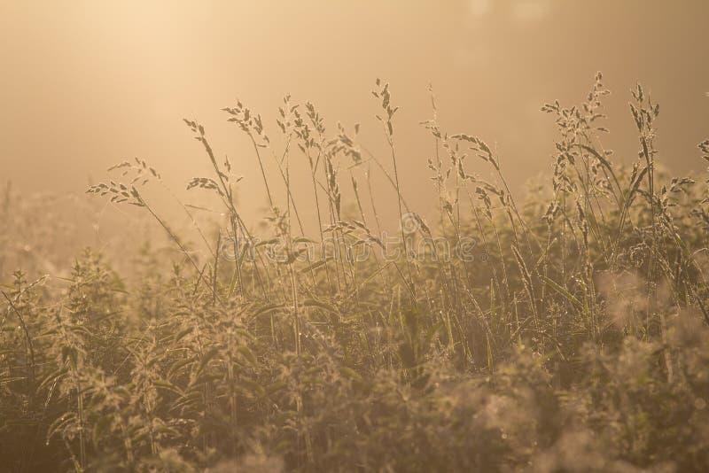 Ein früher Morgen, belichtet warmes Sonnenlicht hohes Gras lizenzfreies stockfoto