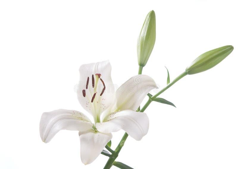 Ein Fragment der weißen Lilie stockbilder