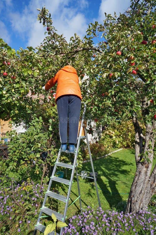 Ein Frauengärtner der älteren Personen erntet eine Ernte von den Äpfeln, die an stehen stockfotos