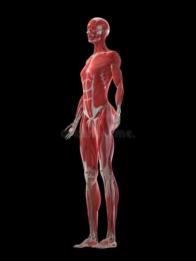 Ein Fraumuskelsystem vektor abbildung