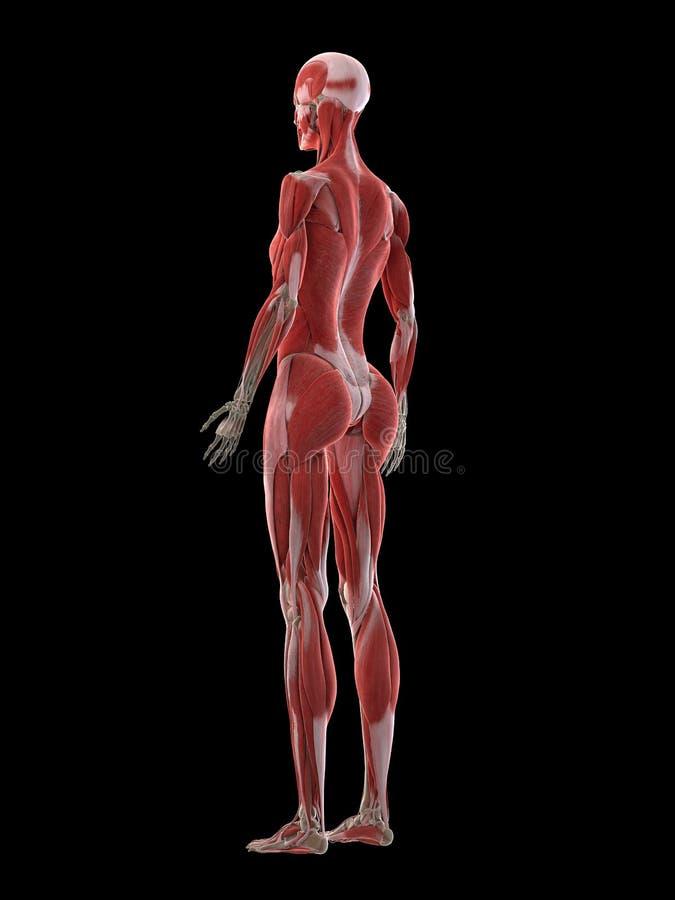 Ein Fraumuskelsystem stock abbildung