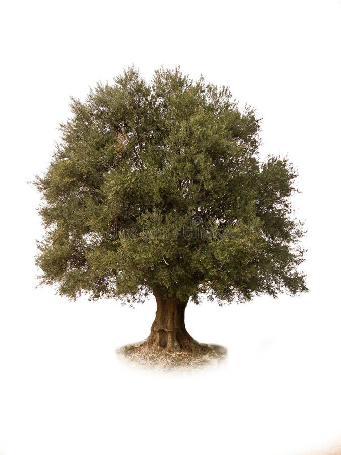 Ein Olivenbaum extrahiert, stockfotografie