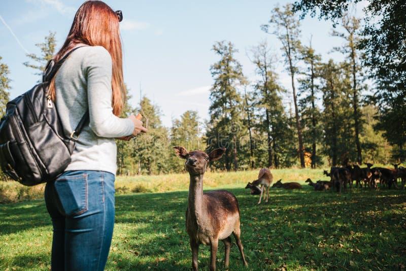 Ein Freiwilliger zieht wilde Rotwild im Wald ein, der für Tiere sich interessiert lizenzfreies stockbild