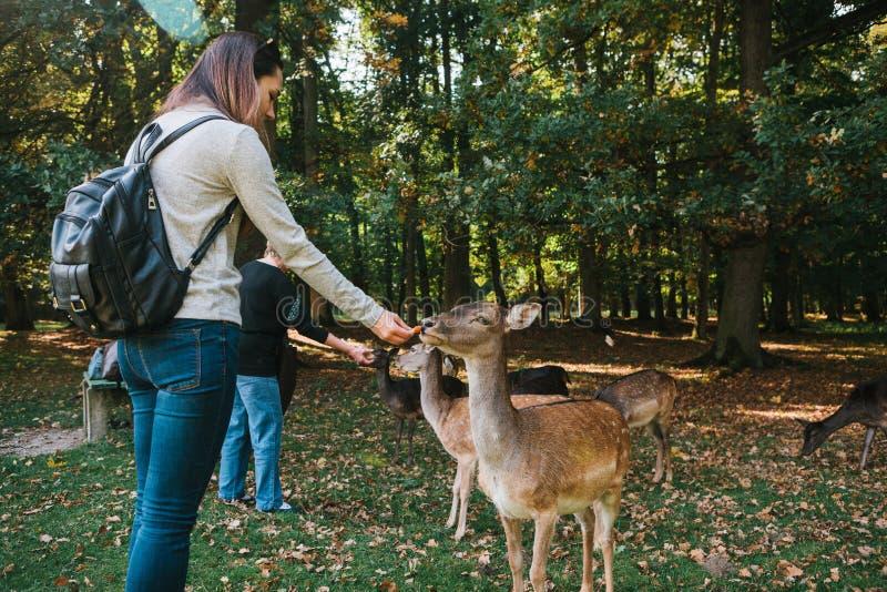 Ein Freiwilliger zieht wilde Rotwild im Wald ein, der für Tiere sich interessiert lizenzfreies stockfoto