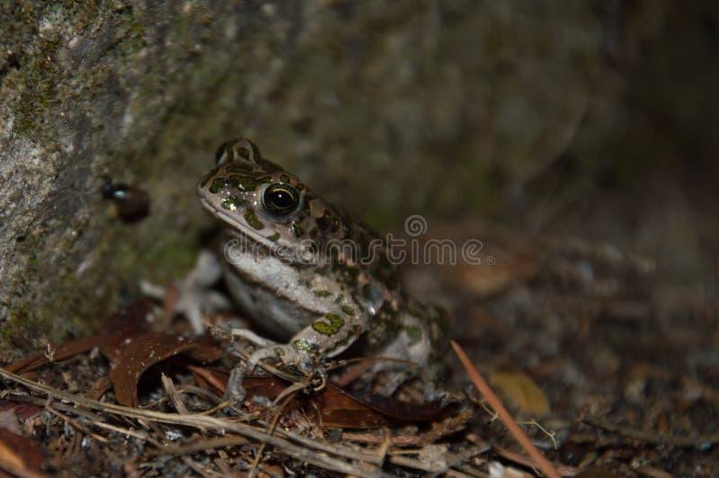 Ein Frosch, der Sie betrachtet lizenzfreie stockfotografie