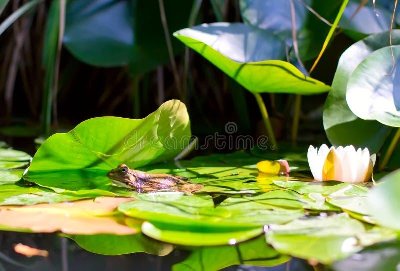 Ein Frosch und eine Lilie stockfoto