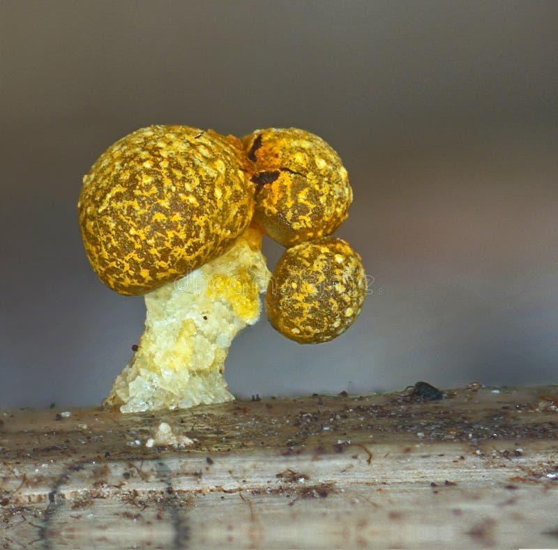 Ein Fruchtkörper eines Schlammform Physarum-polycephalum stockfotografie