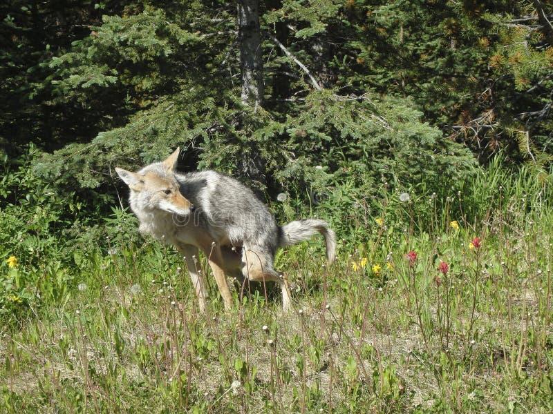 ein Fuchs scheißt auf dem Feld lizenzfreie stockfotografie
